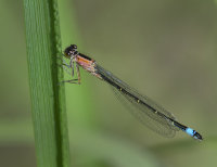 Blue-tailed-Damselfly-female