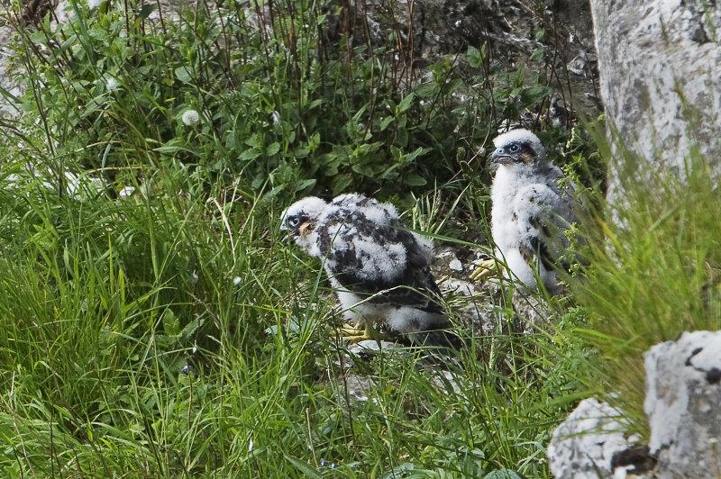 Peregrine-falcon-chicks