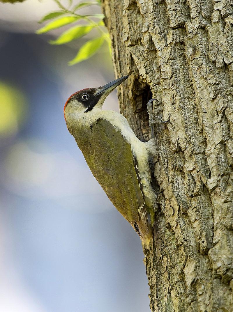 Green-Woodpecker-female