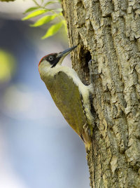 Green-Woodpecker-female