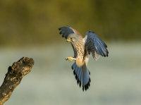 Kestrel-male
