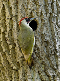 Green-Woodpecker-male
