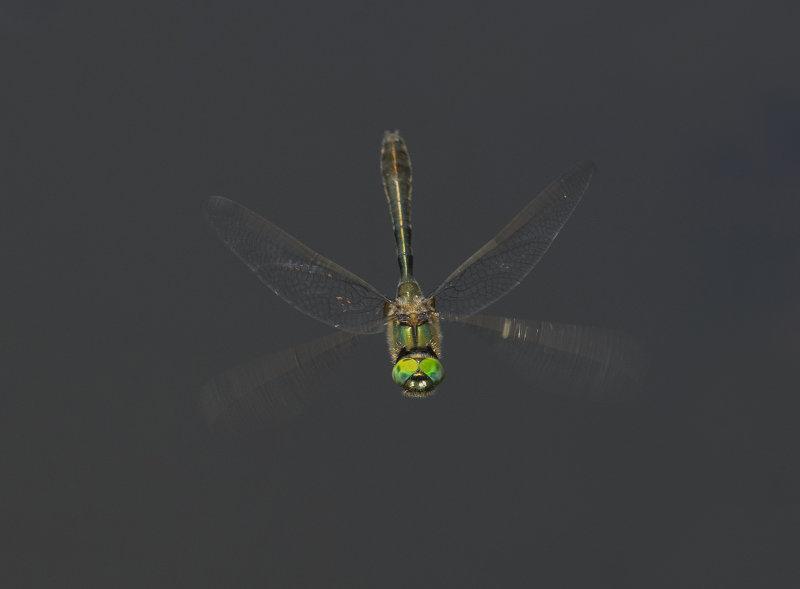 Downy-Emerald-male
