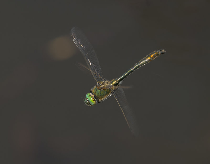 Downy-Emerald-male