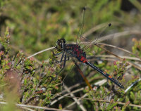 White-faced-Darter-male