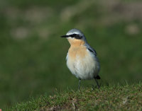 Wheatear-male