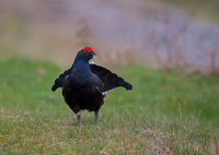 Black-Grouse-male