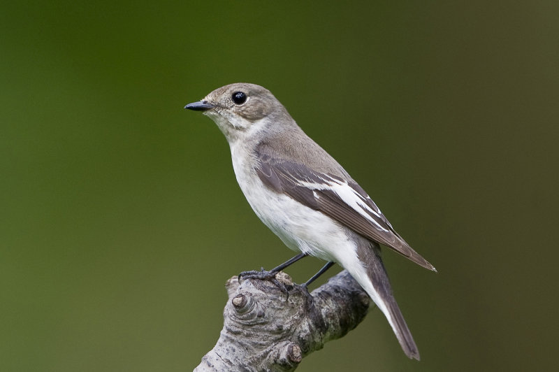 Pied-flycatcher-female