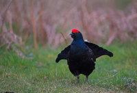 Black-Grouse-male