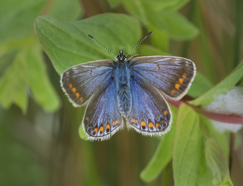 Common-Blue-female