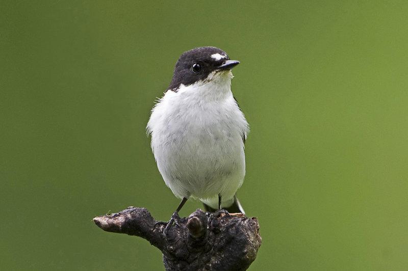 Pied-flycatcher-male