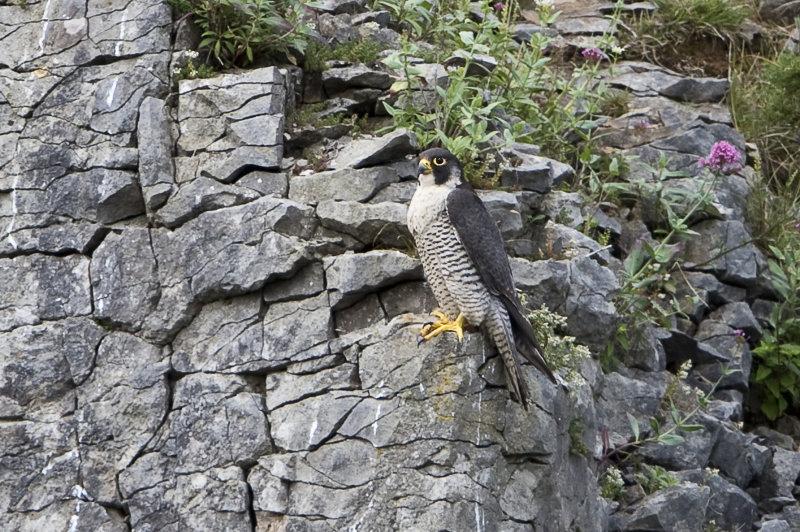 Peregrine-Falcon-female