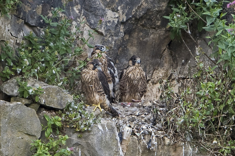 Peregrine-Falcon-chicks
