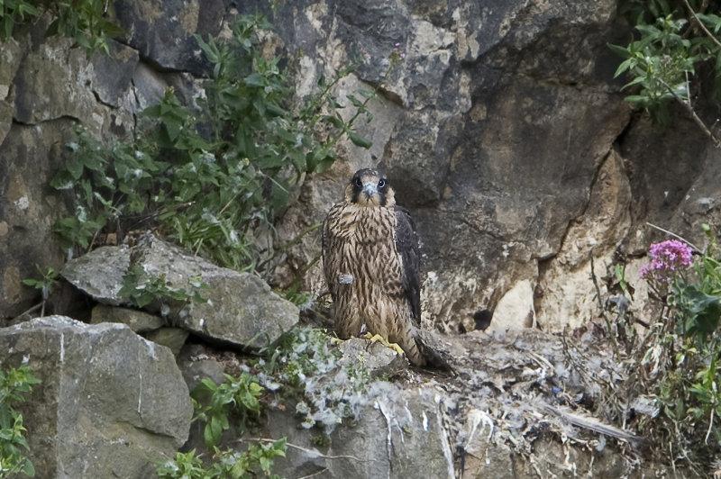 Peregrine-Falcon-chick