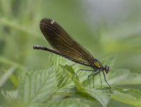 Beautiful-Demoiselle-female