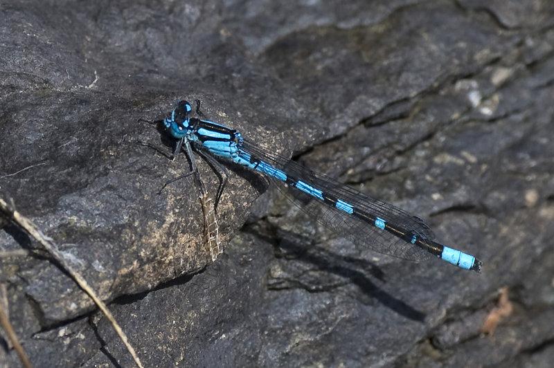 Azure-Damselfly-male