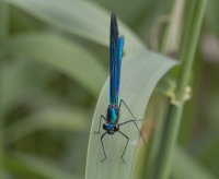 Beautiful-Demoiselle-male