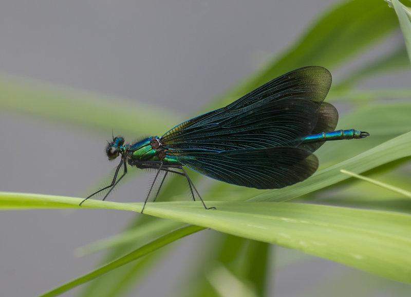 Beautiful-Demoiselle-male