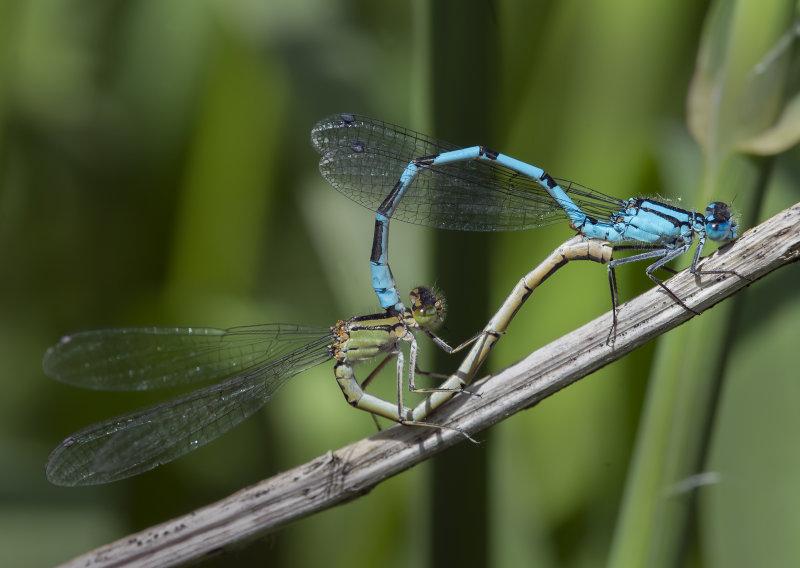 Common-blue-Damselflies