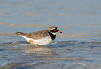 Ringed-Plover