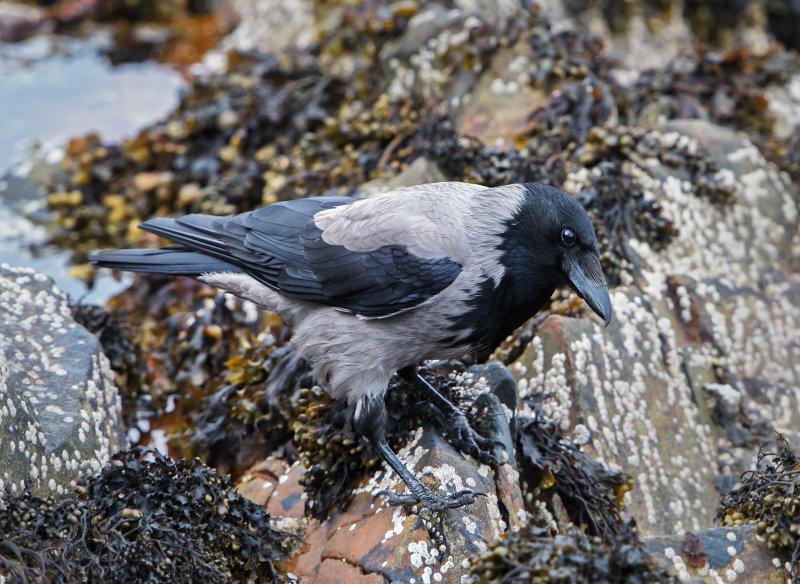 Hooded- Crow