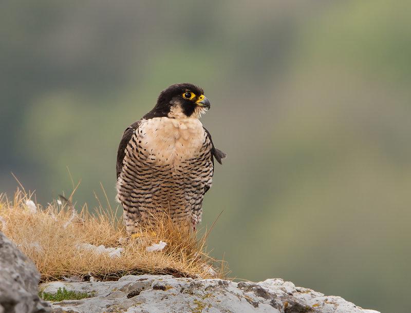 Peregrine-Falcon-male