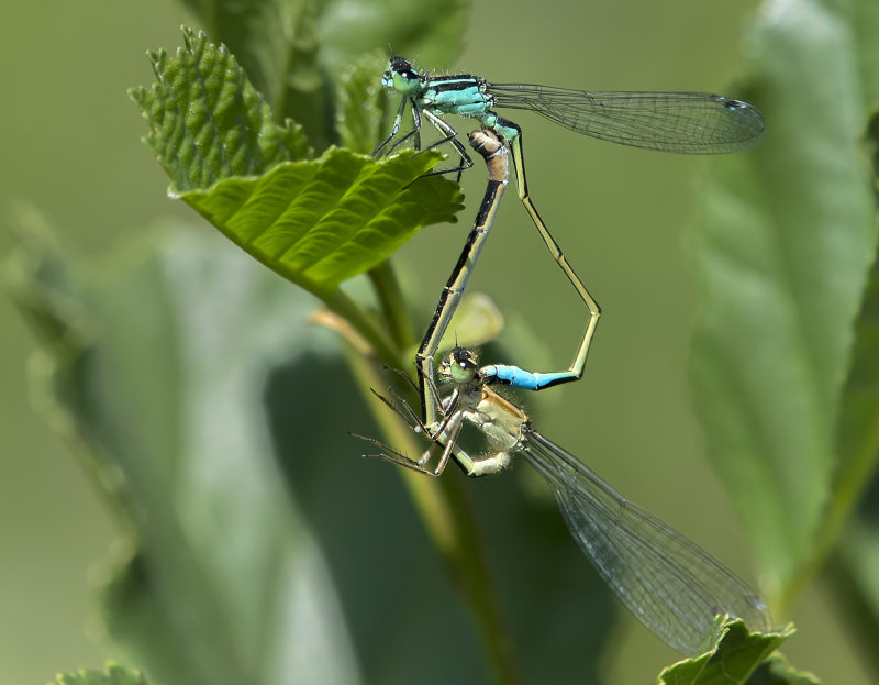 Blue-tailed-Damselflies