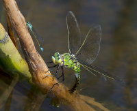 Emperor-Dragonfly-female