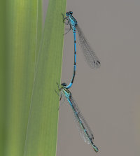 Commom-blue-Damselflies