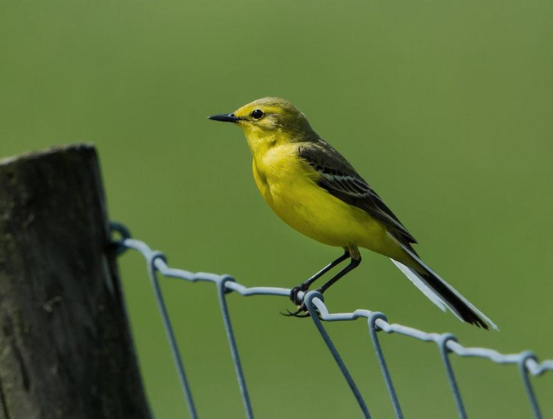 Yellow-Wagtail-male