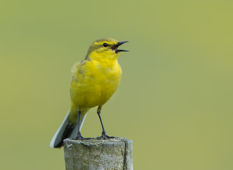 Yellow-Wagtail-male