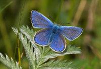 Common-Blue