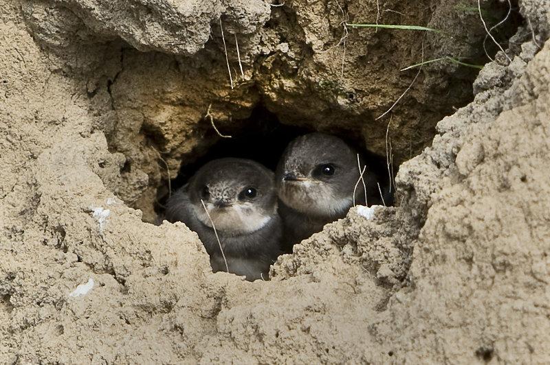 Sand-Martin-chicks