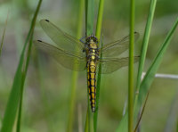 Black-tailed-Skimmer-female