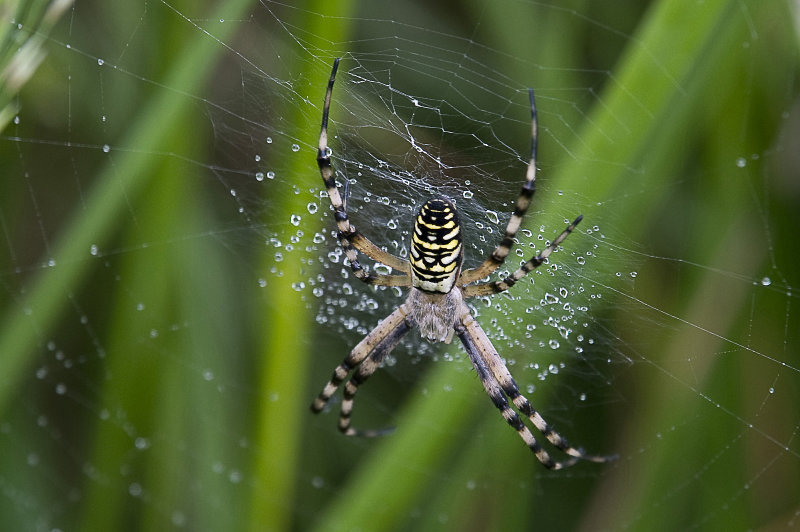Wasp-Spider-female
