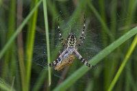 Wasp-Spider-female