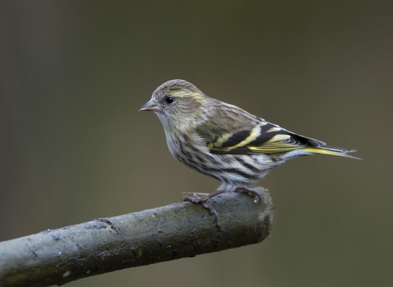 Siskin-female