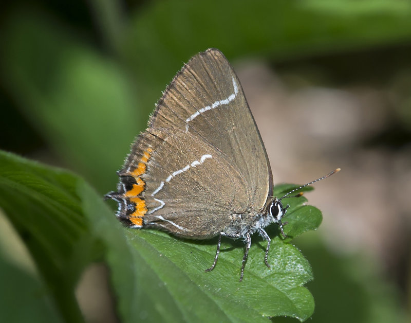 White-letter-Hairstreak