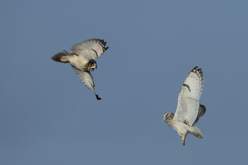 Short-eared-Owls