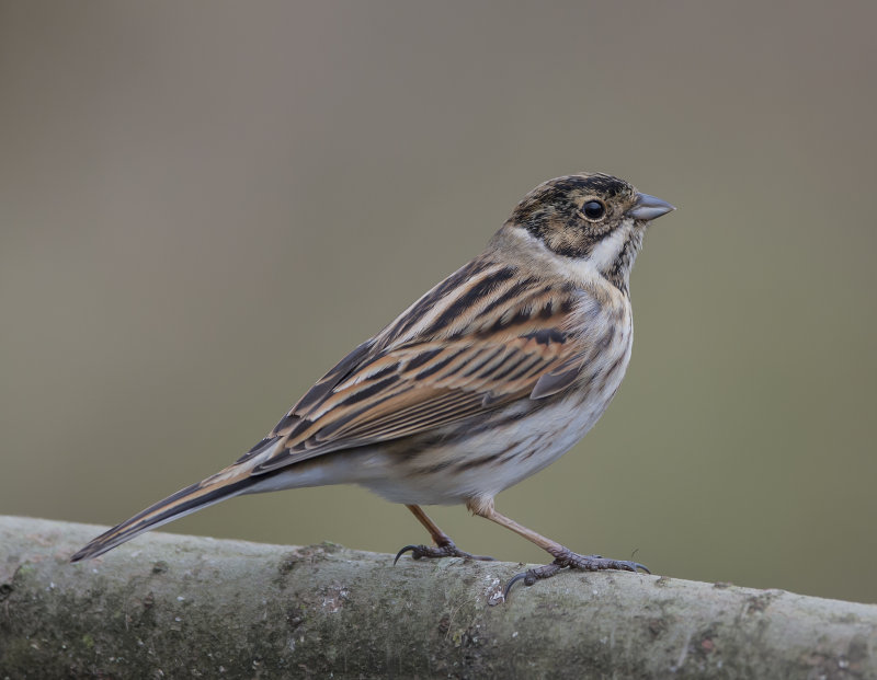 Reed-Bunting-male