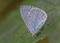 Holly-Blue
