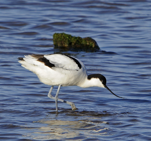 Male-Avocet