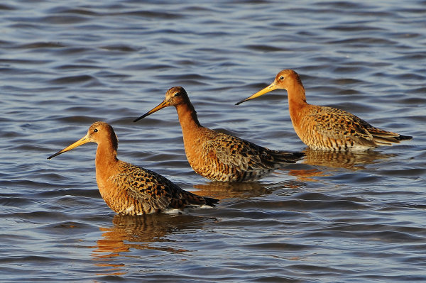 Male-Black-Tailed-Godwits