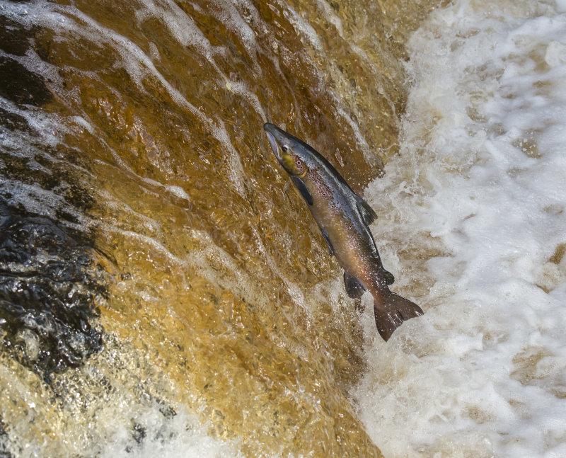 Atlantic-Salmon