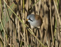 Bearded-Tit-male