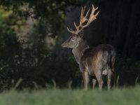 Black-Fallow-deer