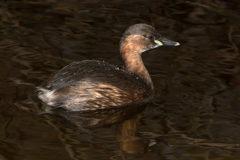 Little-Grebe
