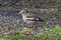 Hawfinch-female
