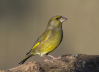 Greenfinch-male