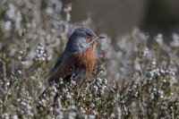Dartford-warbler-male